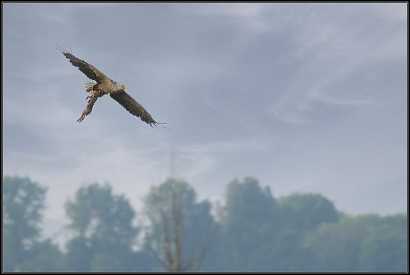 Zeearend/White-tailed Eagle