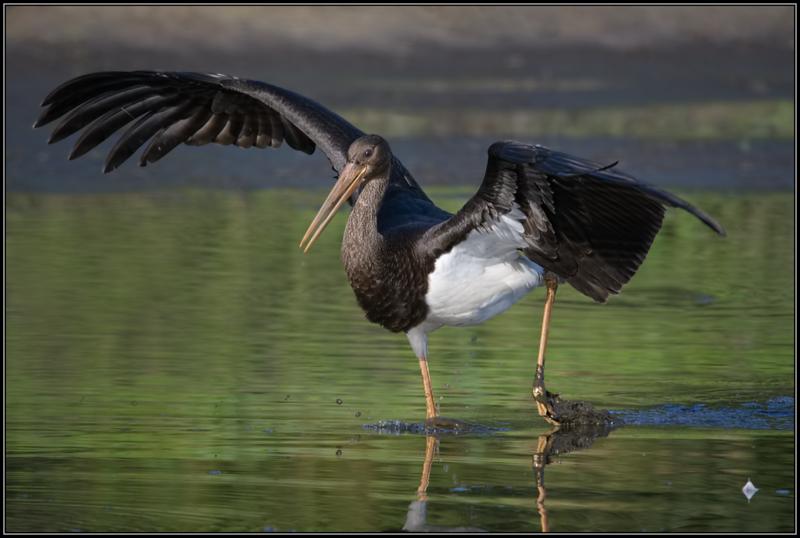 Zwarte Ooievaar/Black Stork