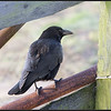 Zwarte kraai/Carrion Crow