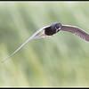 Zwarte stern/Black Tern
