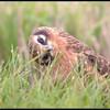 Grauwe Kiekendief/Montagu's Harrier