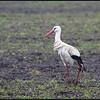 Ooievaar/White Stork