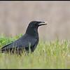 Zwarte kraai/Carrion Crow