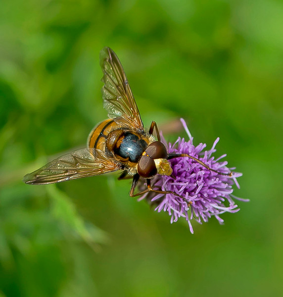 Volucella inanis (male)