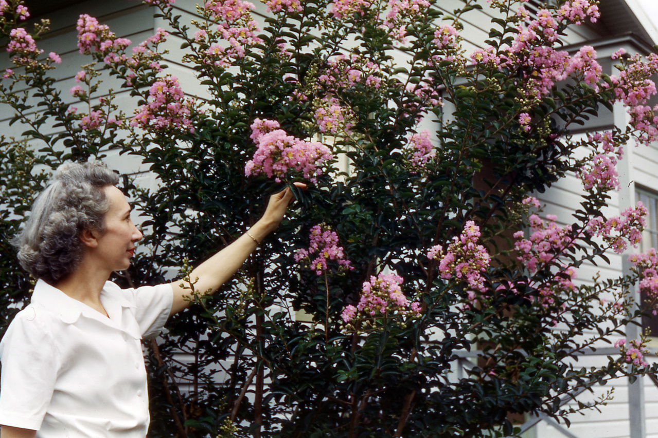 Caring for the Crepe Myrtle