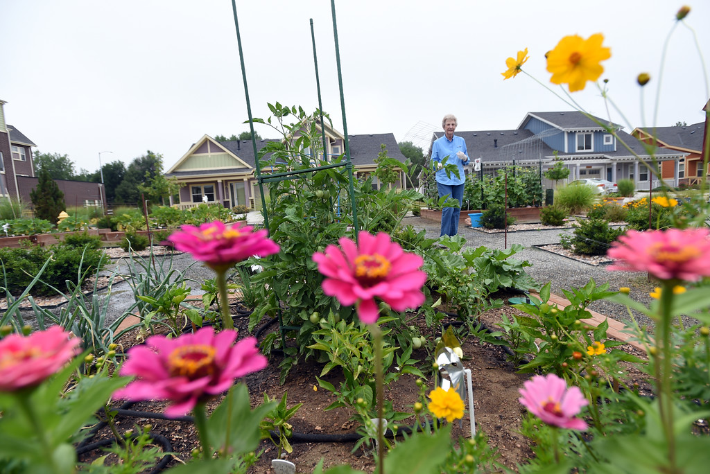 . Ann Karlen, tiptoeing by the zinnias, was among the volunteers that created and care for the garden at The Avenues at Crofton Park in Broomfield. For more photos, go to broomfieldenterprise,com.  Cliff Grassmick  Staff Photographer July 28, 2017