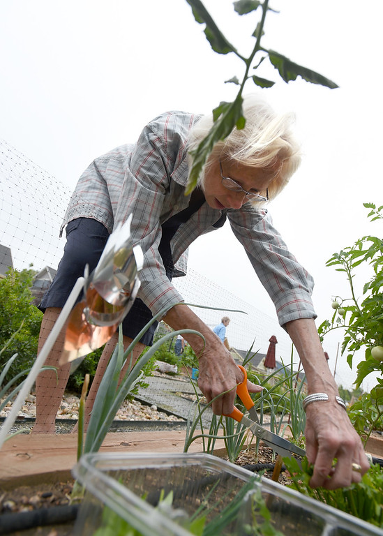 . Pat Kirk, trimming a spice, was among the volunteers that created and care for the garden at The Avenues at Crofton Park in Broomfield. For more photos, go to broomfieldenterprise,com.  Cliff Grassmick  Staff Photographer July 28, 2017
