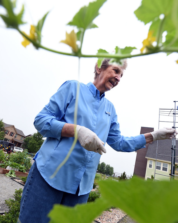 . Ann Karlen, checking the cucumber plants,  was among the volunteers that created and care for the garden at The Avenues at Crofton Park in Broomfield. For more photos, go to broomfieldenterprise,com.  Cliff Grassmick  Staff Photographer July 28, 2017