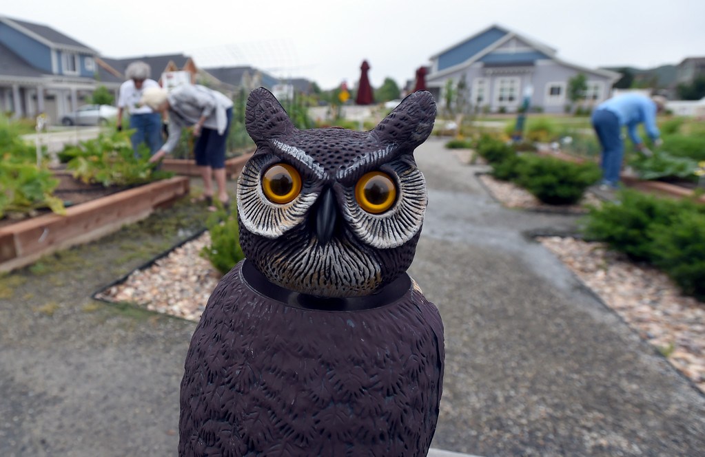 . An owl keeps guard at the garden at The Avenues at Crofton Park in Broomfield. For more photos, go to broomfieldenterprise,com.  Cliff Grassmick  Staff Photographer July 28, 2017