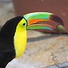Keel-billed Toucan at the Macaw Mountain Bird Park and Nature Reserve (Parque de Aves y Reserva Natural) at Ruinas de Copan.
