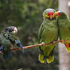 White-crowned, Red-lored and White-fronted Parrots at the Macaw Mountain Bird Park and Nature Reserve (Parque de Aves y Reserva Natural) at Ruinas de Copan