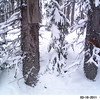 American Pine Marten checking out the bait, near Anthony Lakes, OR