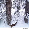 American Pine Marten caught on our remote, motiontriggered camera located near Anthony Lakes