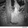 American Pine Marten caught on camera by HCPC's Remotemotiontriggered camera, near Anthony Lakes, OR