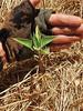 Planted Datura Survivor