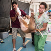 Vet techs carry anesthesized dog to operating table for spay surgery
