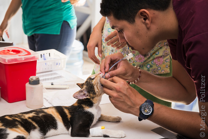 Vet technician prepares cat for neutering surgery