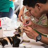 Vet technician prepares cat for neutering surgery