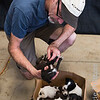 Veterinarian examines puppies