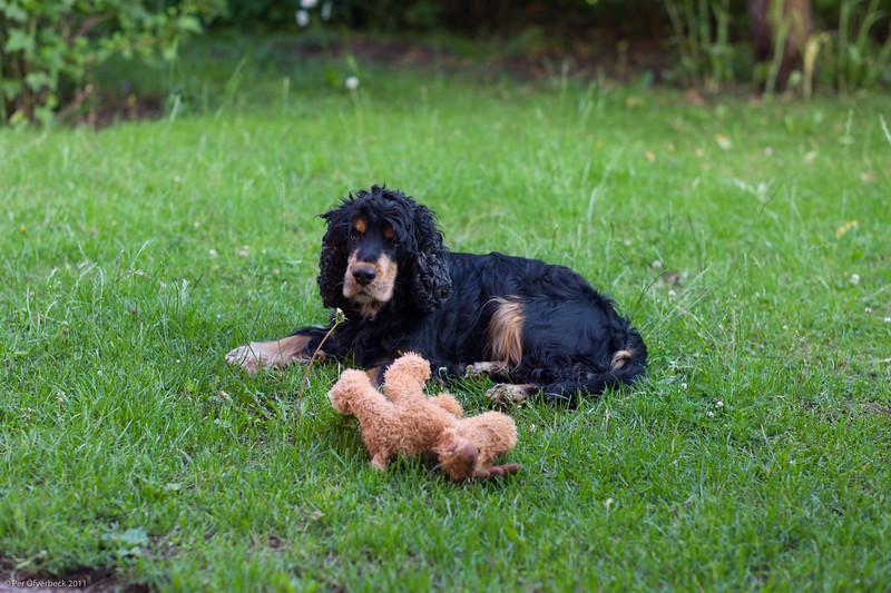Apporterande älghund