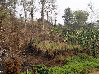 Verger thaï : bananiers