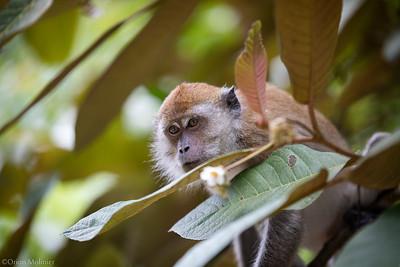 Regard de Macaque