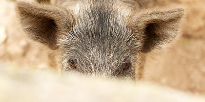 Cochon sur le plateau de Coscione, Corse