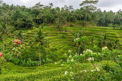 Rizières en terrasse - Tagalalang - Ubud - Bali