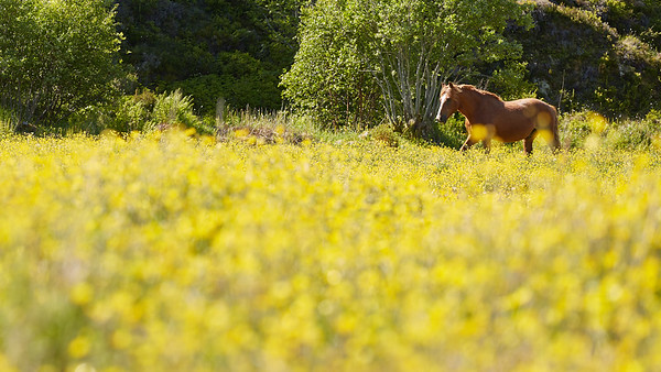 Cheval, Norvège