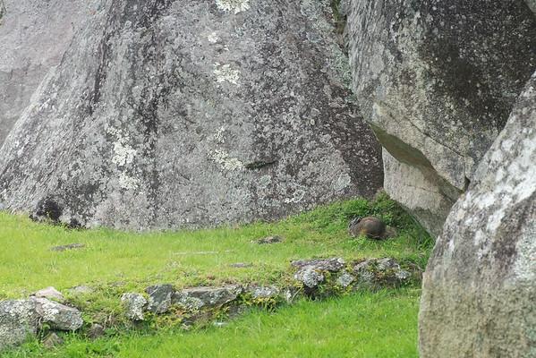 Lapin Incas