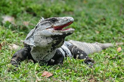 Iguana Fest