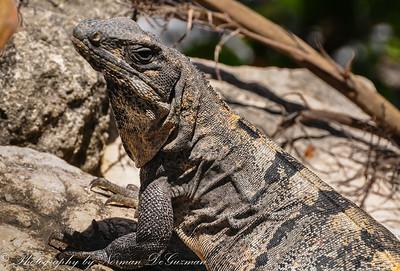 Land of the Iguanas