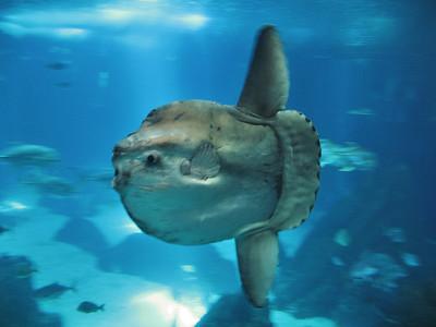 Lisbonne - Oriente - Aceanario, Ocean Sunfish