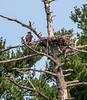 Smallest eagle nest ever