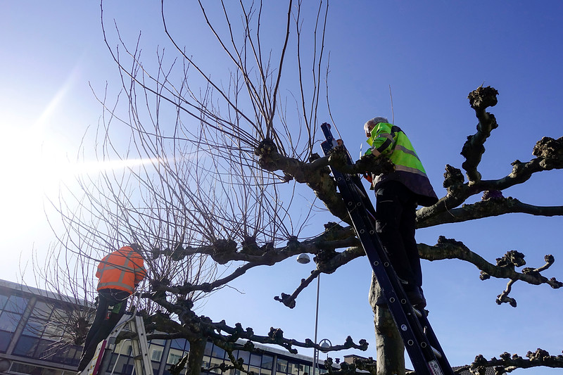 Nederland, Amsterdam, snoeien van dakplatanen, pruning the plane, 13 februari 2018, foto: Katrien Mulder