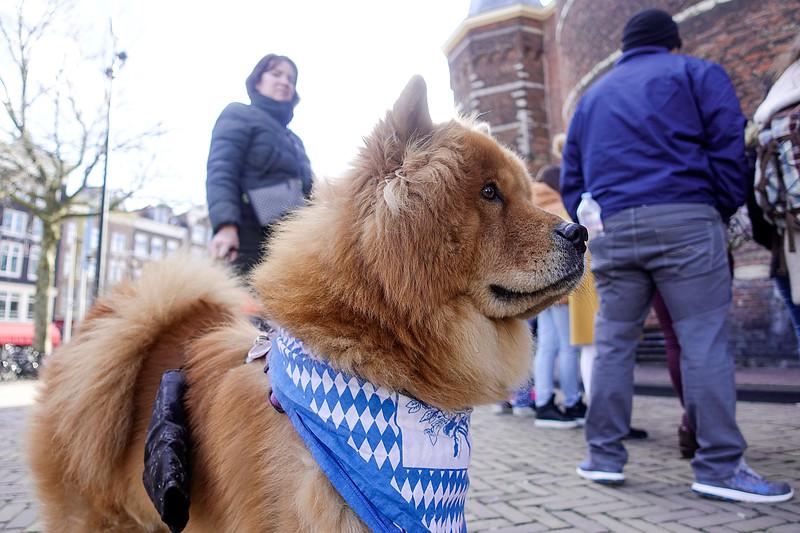 Nederland, Amsterdam, Chowchow met paraplu, 16 februari 2018, foto: Katrien Mulder