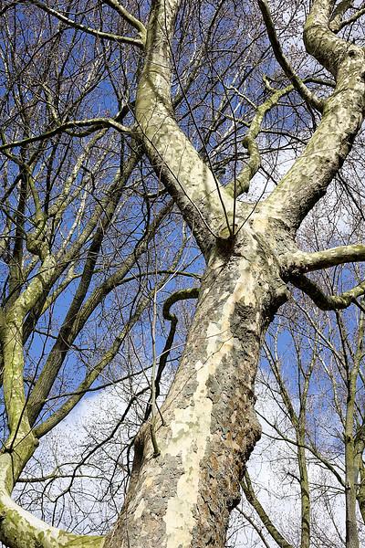Nederland, Amsterrdam, 05-04-2018, Een eikenboom met een loslatende schors in de Watergraafsmeer, foto: Katrien Mulder/Hollandse Hoogte