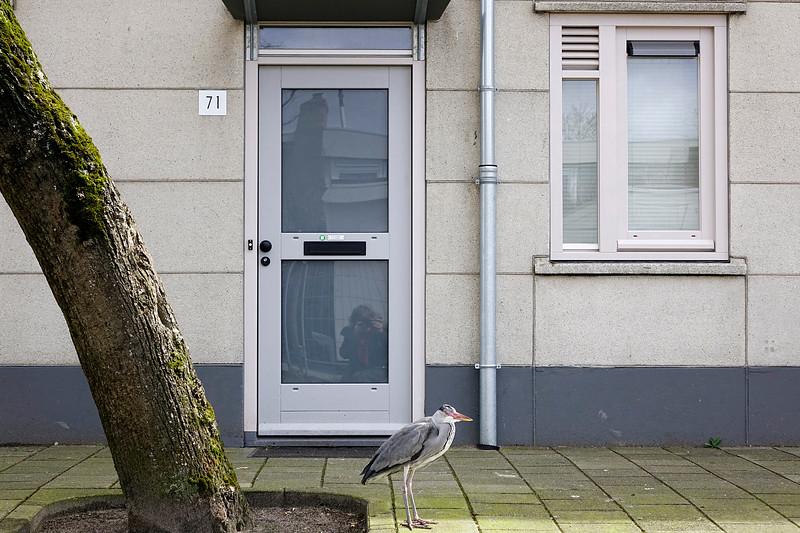 Nederland, Amsterrdam, 05-04-2018, Watergraafsmeer. Een reiger  wacht bij de voordeur van een woning op zijn dagelijkse portie eten. foto: Katrien Mulder/Hollandse Hoogte