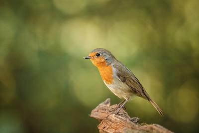 European Robin (Erithacus rubecula) /Červienka obyčajná