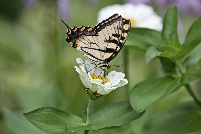 Eastern Tiger Swallowtail Butterfly on zinnia