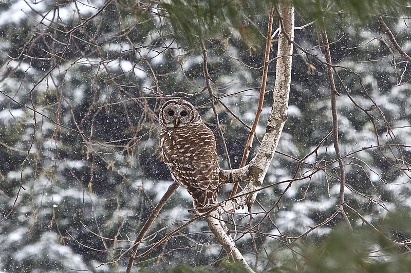 Barred Owl.  2015