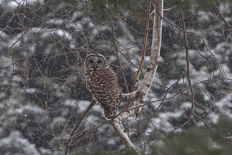 Barred Owl, outside my window