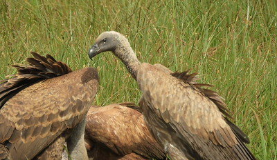 Ruppell's Vultures (immature)
