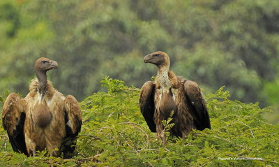 Ruppell's Vulture (immature)