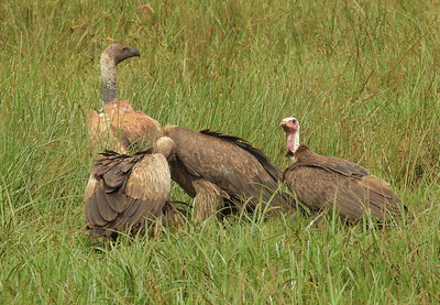 Ruppell's Immature and Hooded Vulture