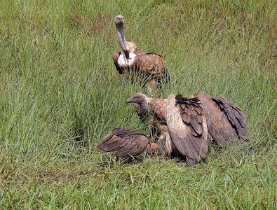 White Backed _Ruppell's Vultures