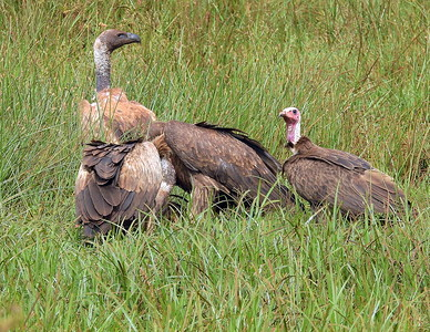 Ruppell's Immature_Hooded Vultures