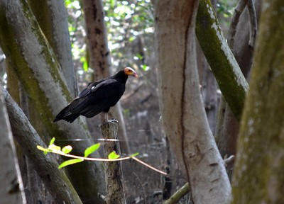 Lesser Yellow-Headed Vulture  -  They rely on smell to hunt and therefore rarely fly high.
