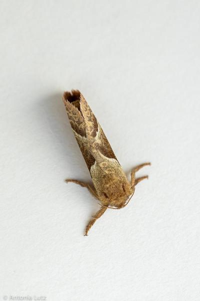 Ampfer-Wurzelbohrer