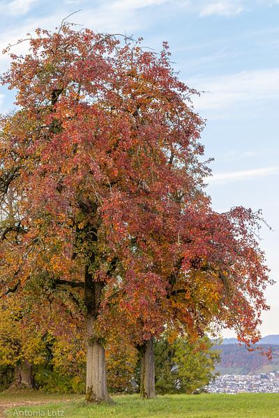 Birnbaum der Admirale